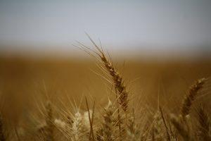 origine cereales blé
